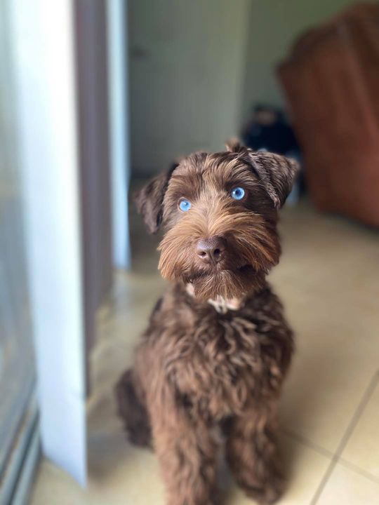 Photos from South Florida Miniature Schnauzers's post
